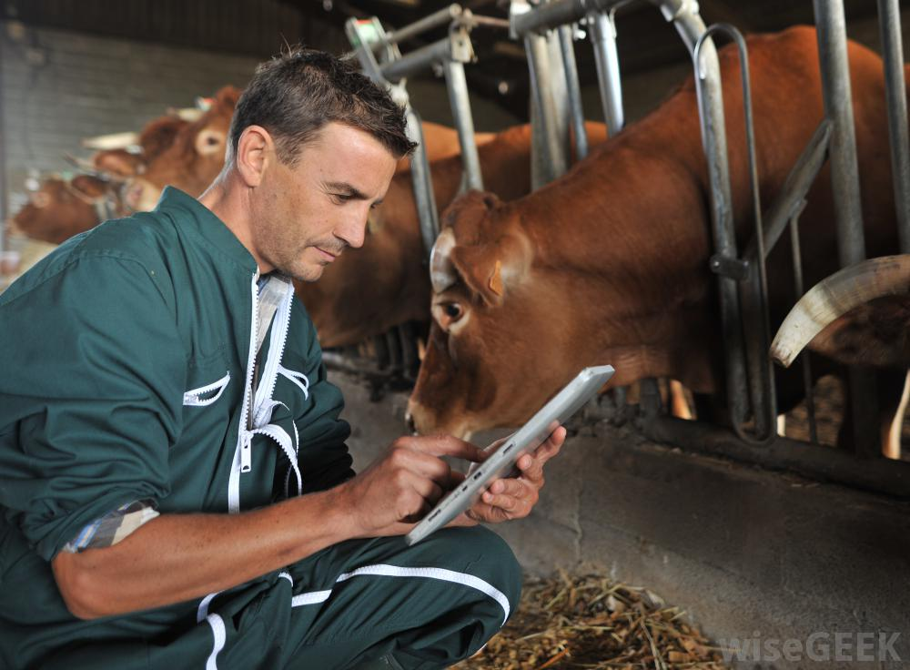 veterinarian-working-with-a-cow